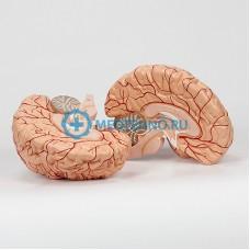 Модель головного мозга (2 части) 6160