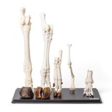 Задние конечности различных млекопитающих (Mammalia)